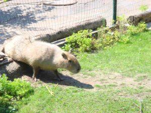 Nagetier im Zoo
