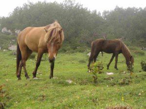 Pferde am Dachstein